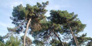 Pinus pinaster 300x150 - Home
